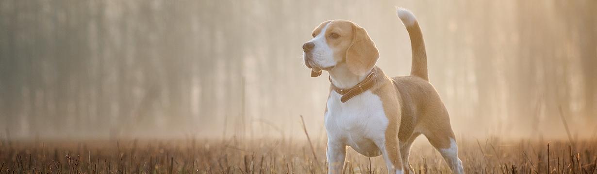 Accessoires et équipements pour les chiens de chasse courants et d'arrêt
